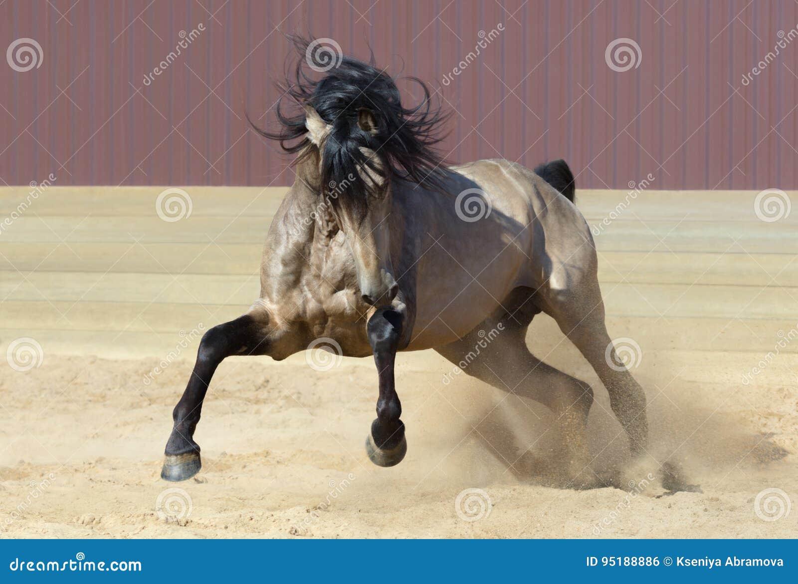 Cavallo andaluso che gioca sulla sabbia