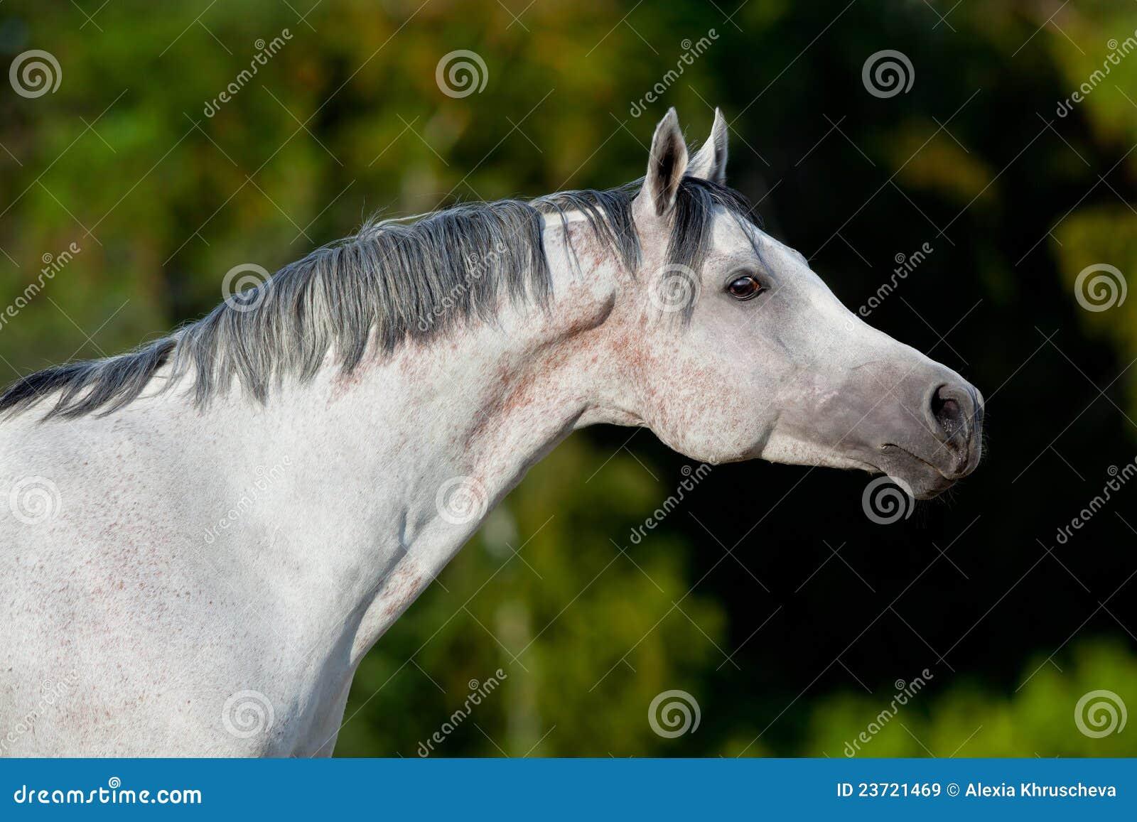 Cavallo arabo bianco nel campo