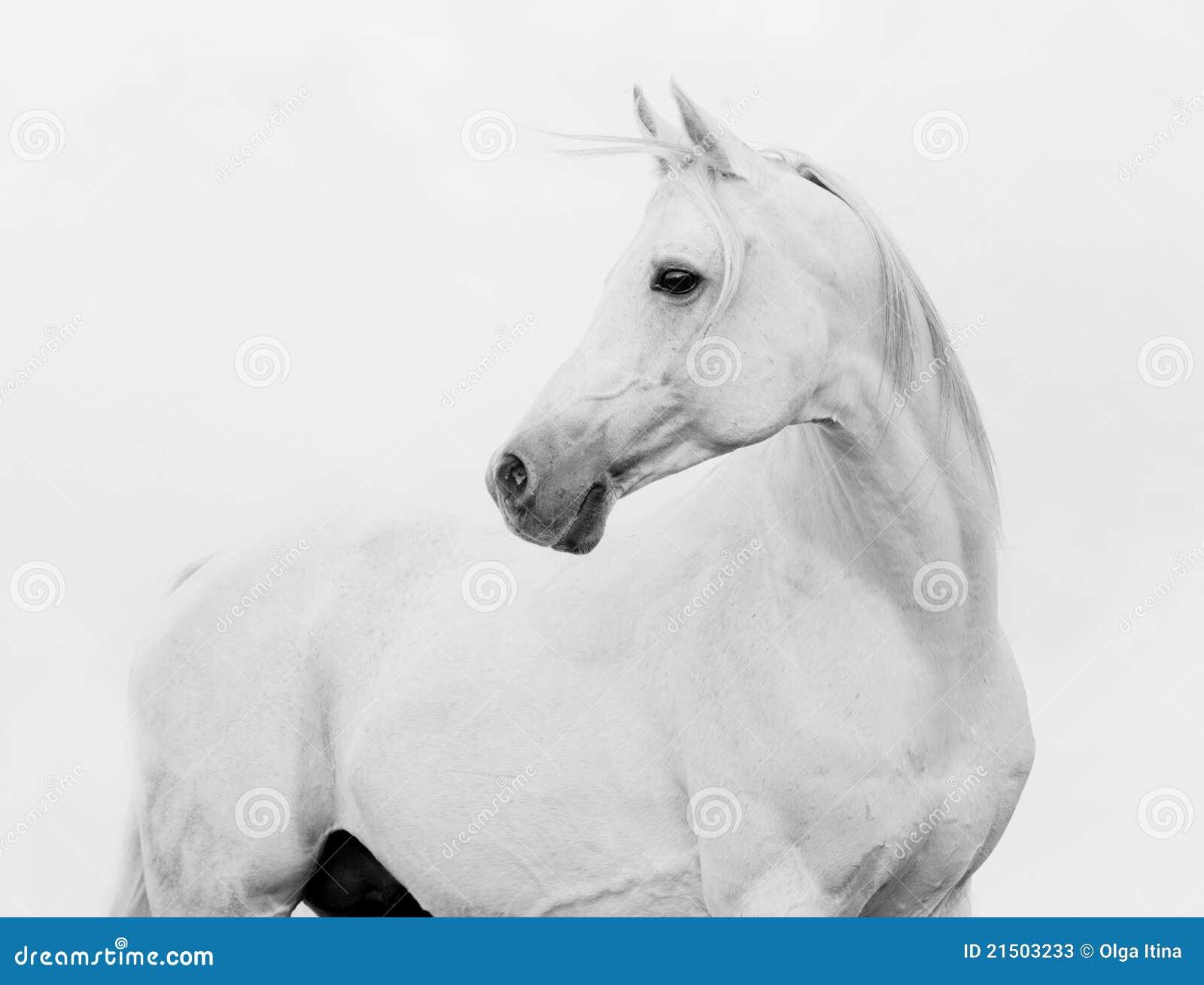 Cavallo arabo di Bw nell alto tasto