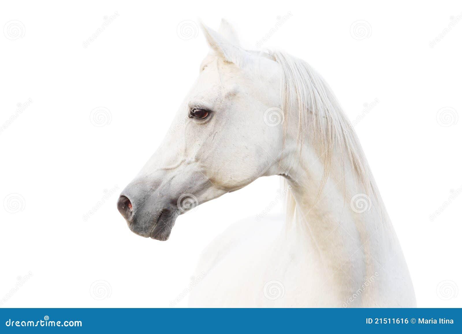 Cavallo bianco arabo