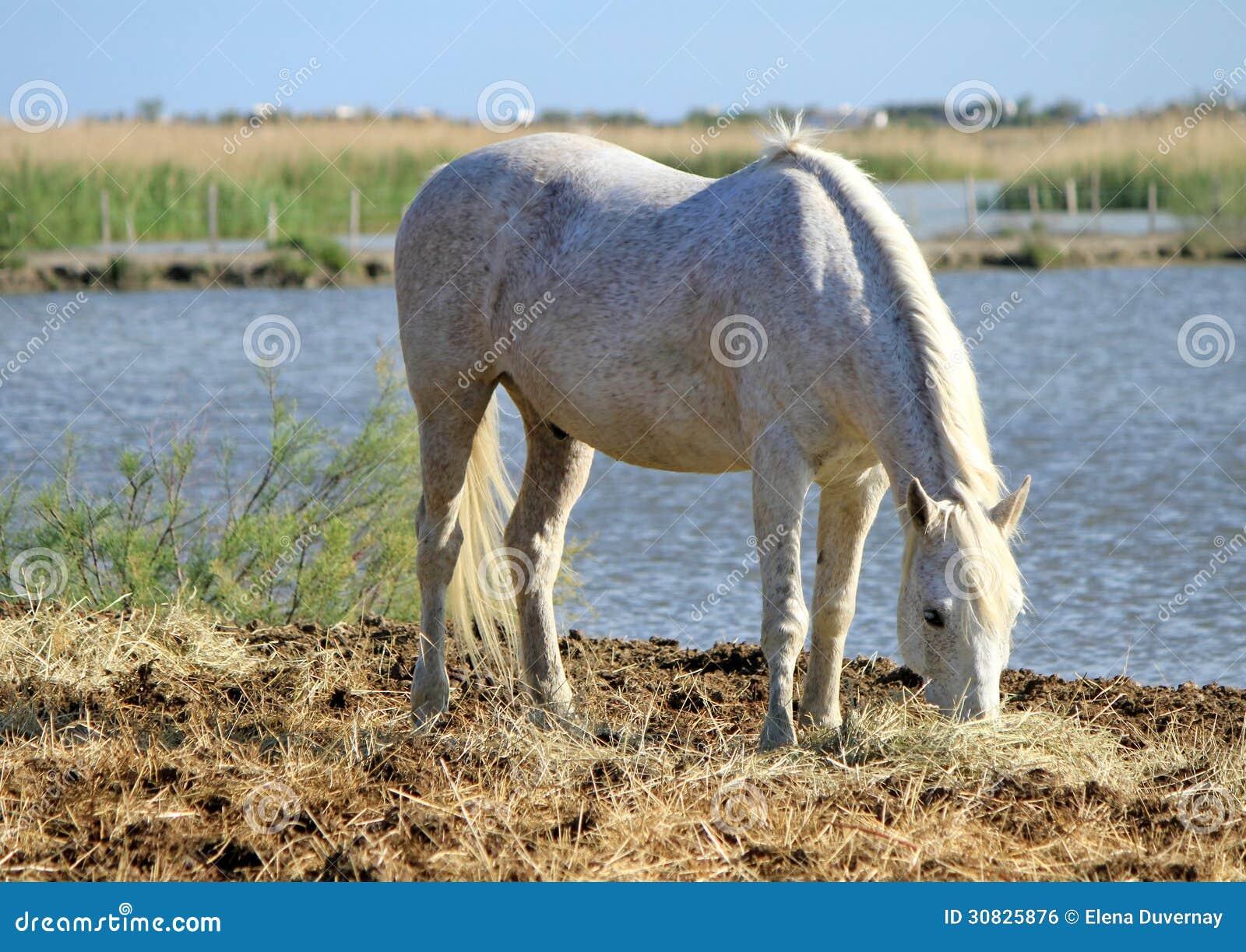 Cavallo bianco che mangia, Camargue, Francia
