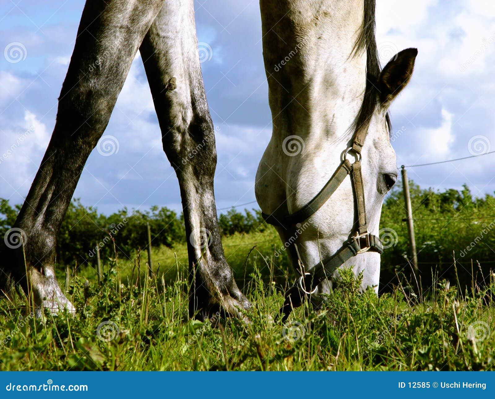 Cavallo bianco che passa in rassegna