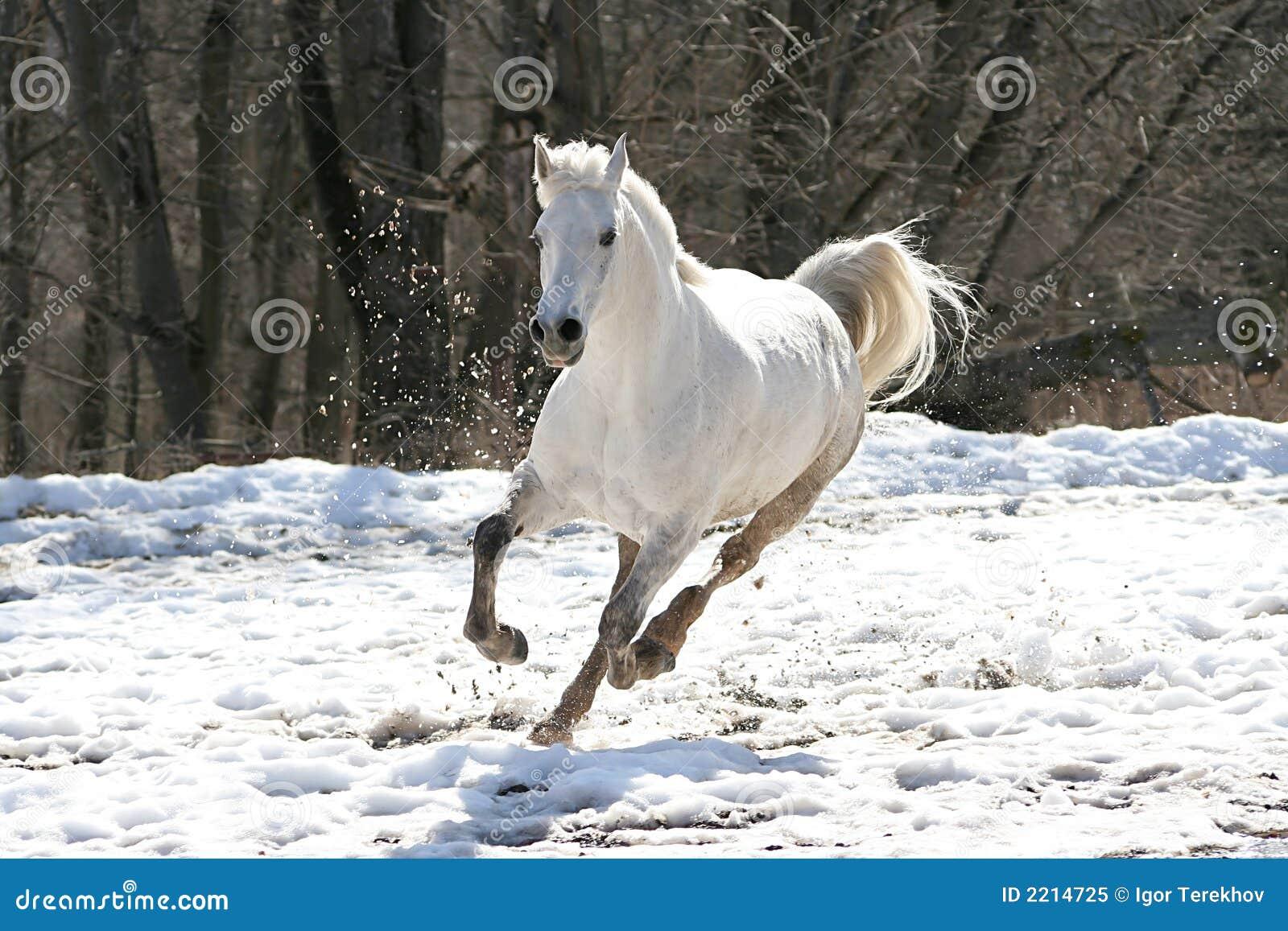 Cavallo bianco di salto