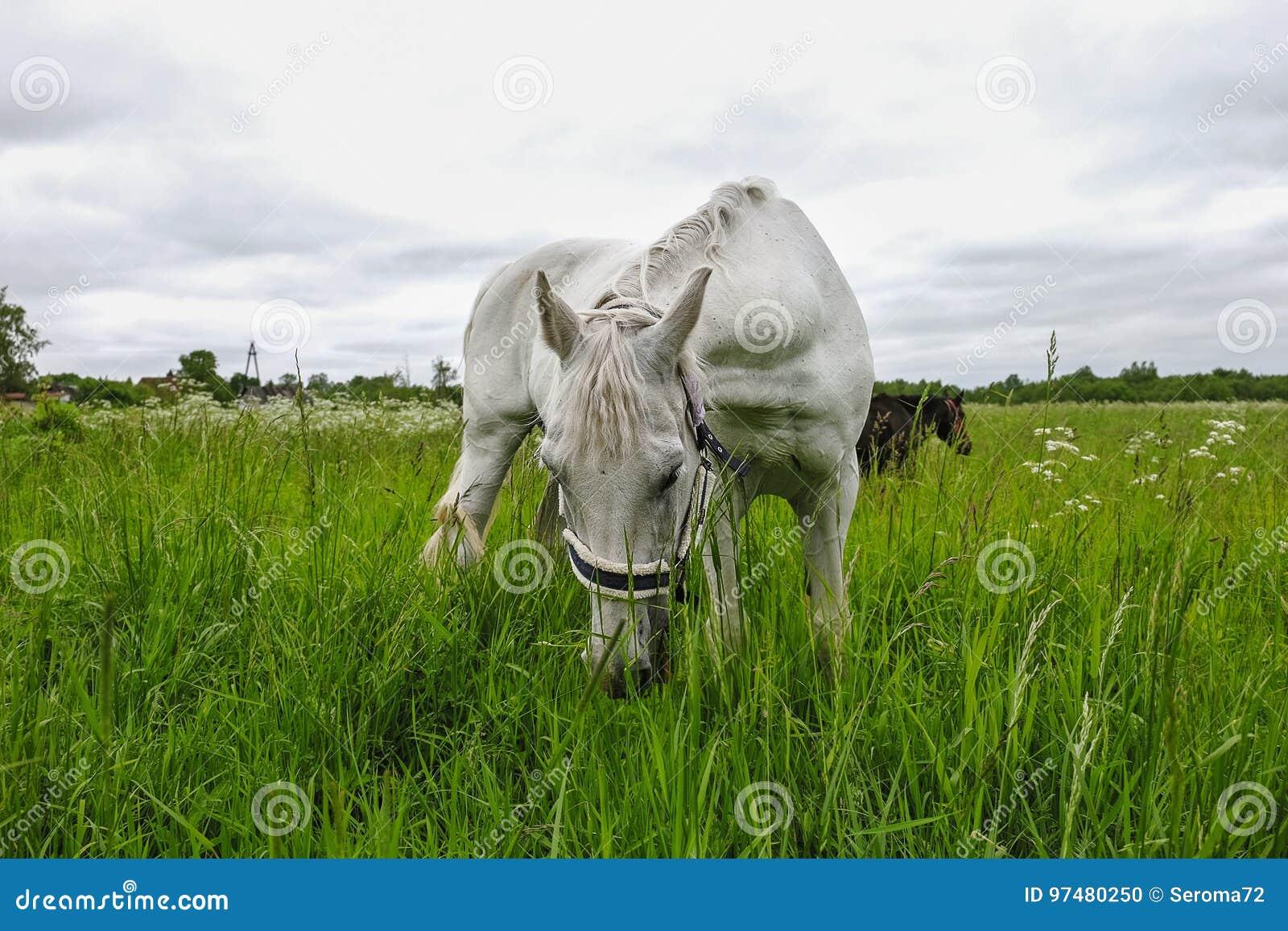 Cavallo bianco grazioso in un campo