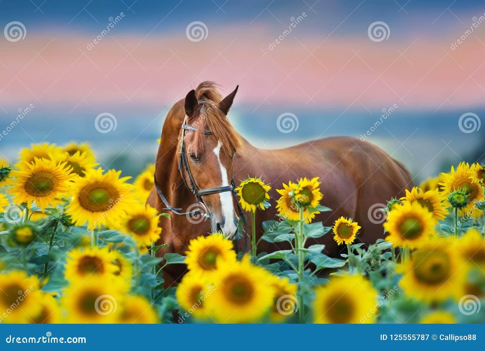 Cavallo in briglia in girasoli