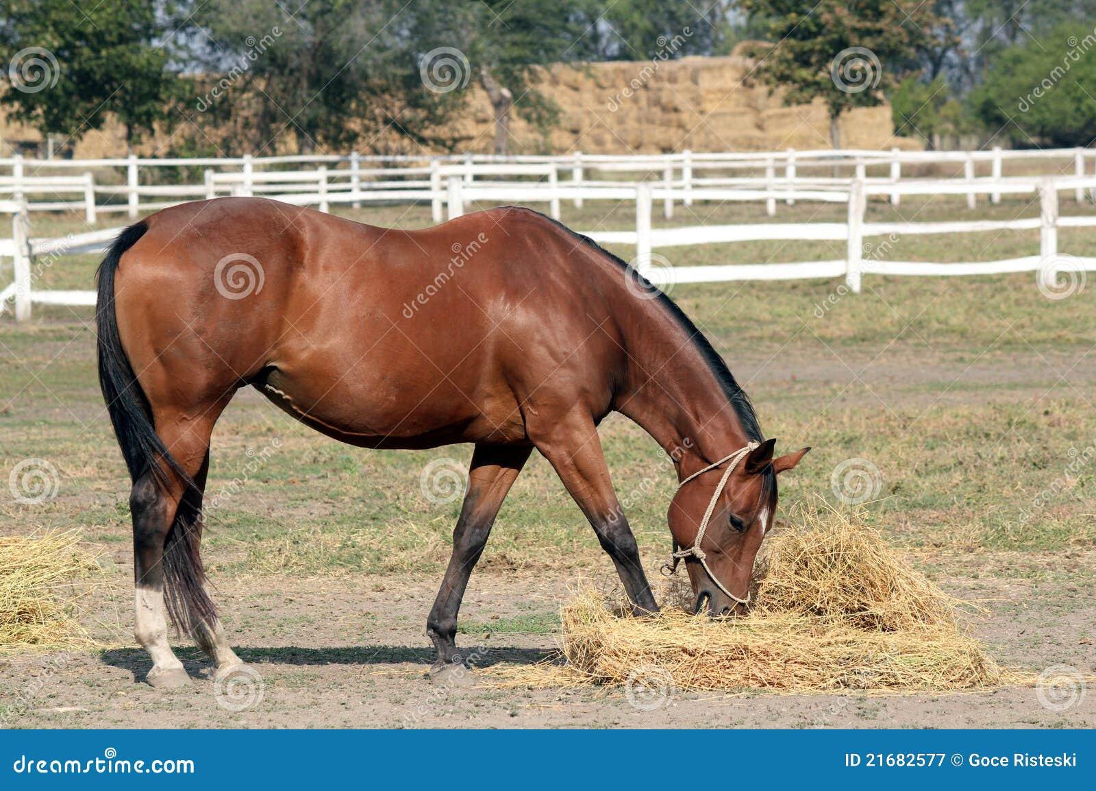cavallo che mangia fieno immagine stock immagine di