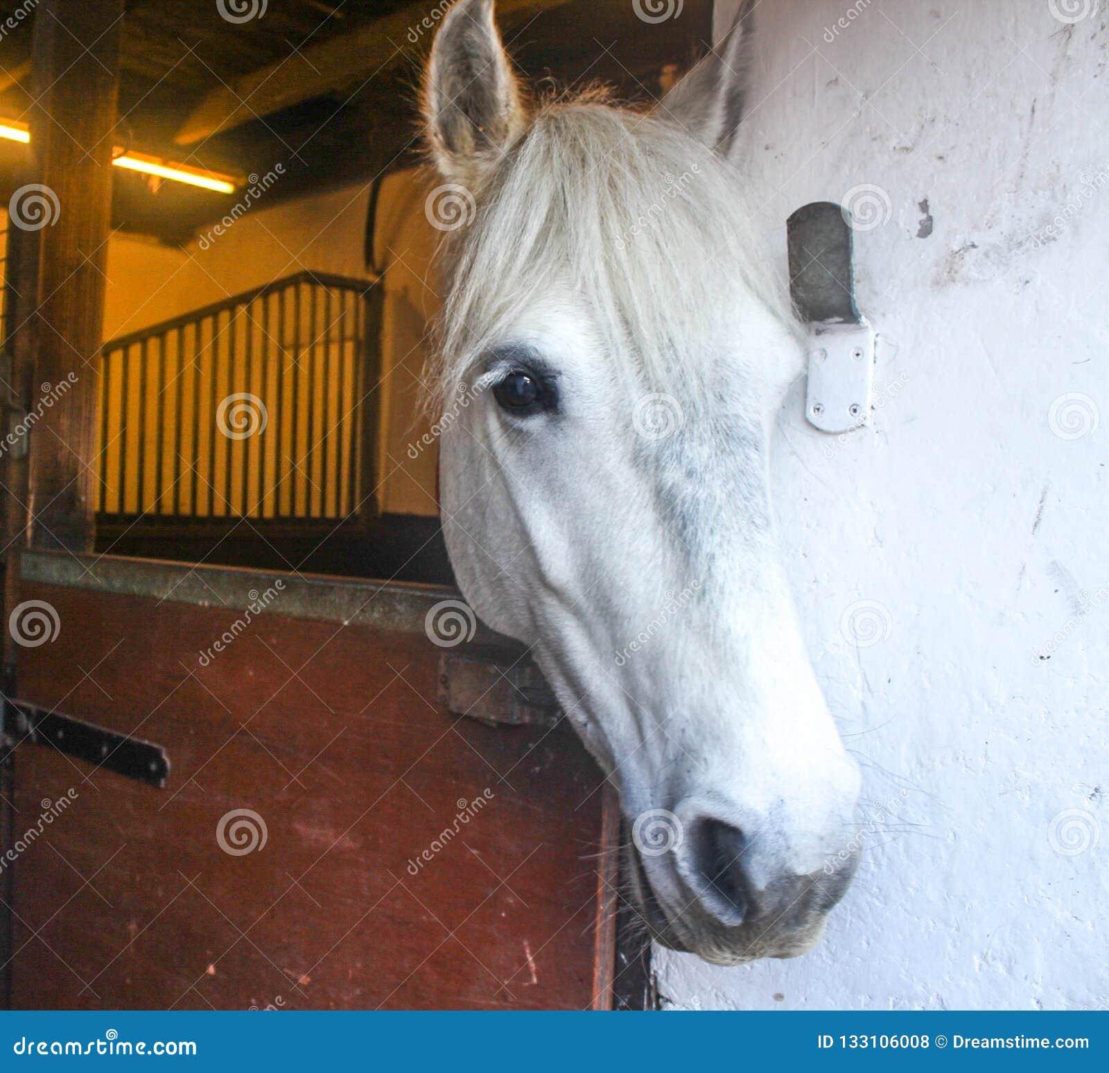 Cavallo del cavallino