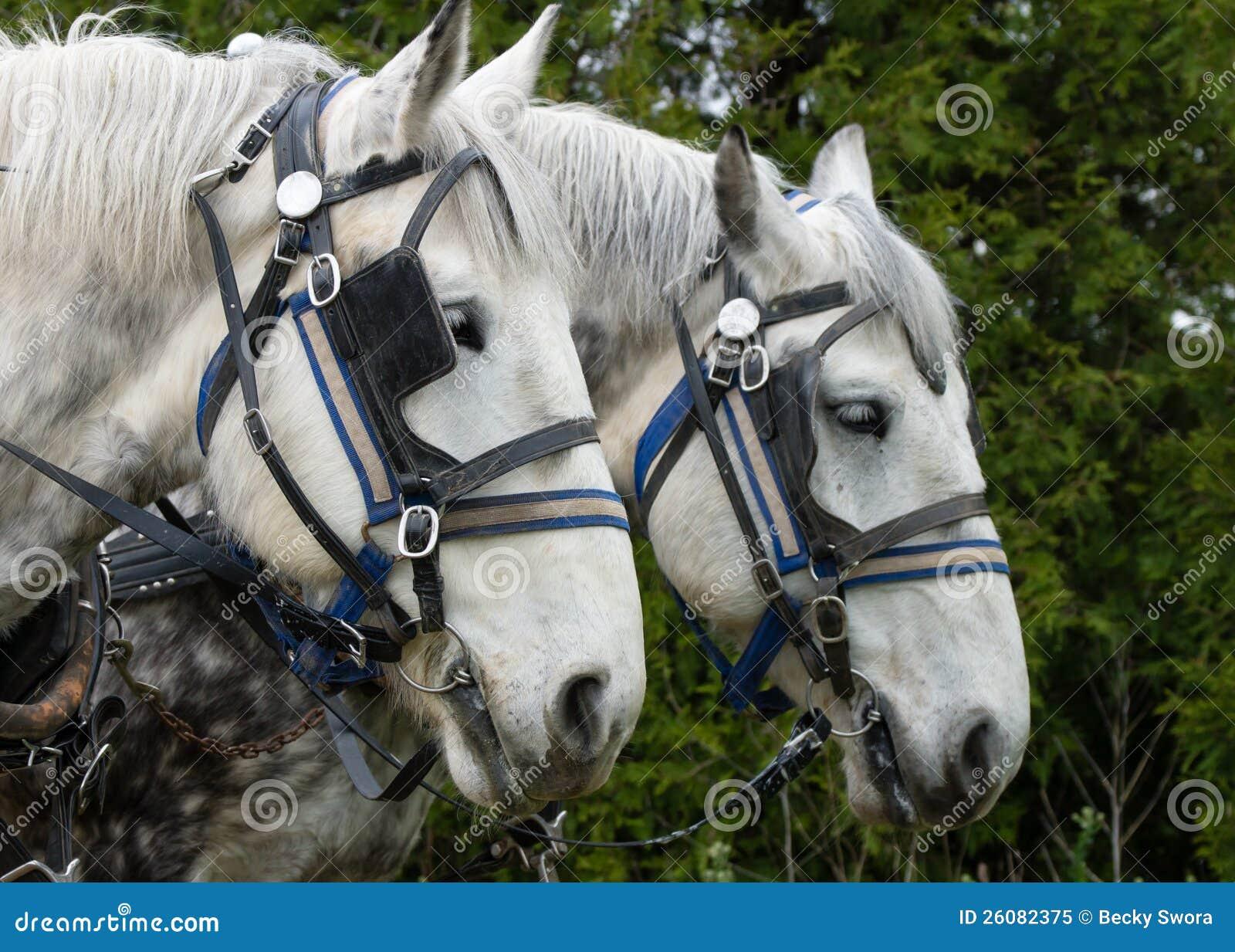 Cavallo di aratro bianco