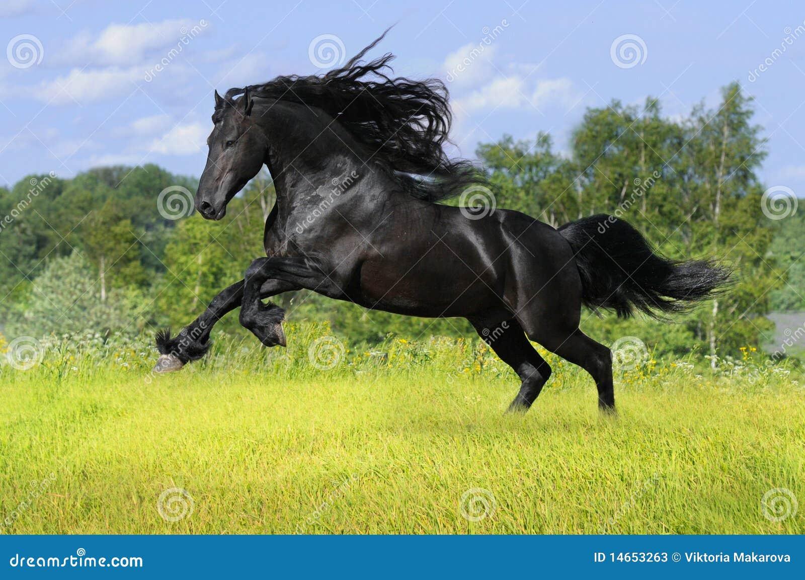 Cavallo frisone nero sul prato