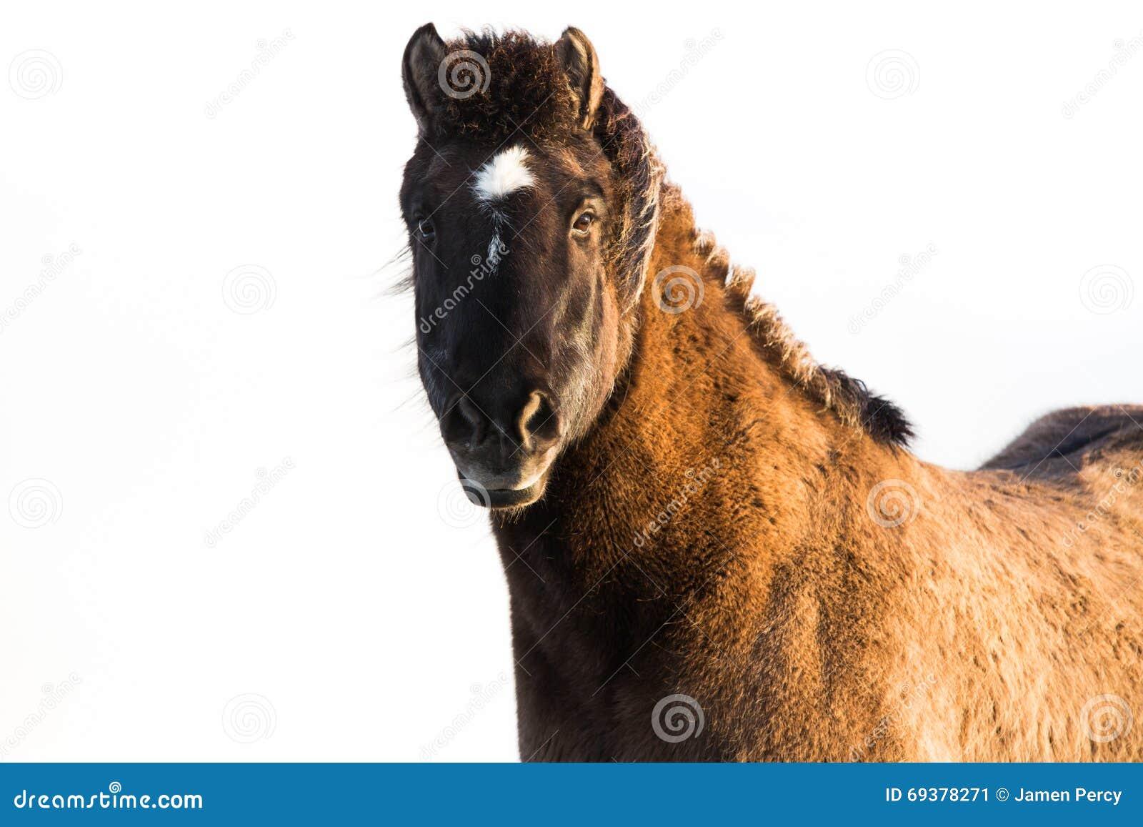 Cavallo islandese isolato su bianco
