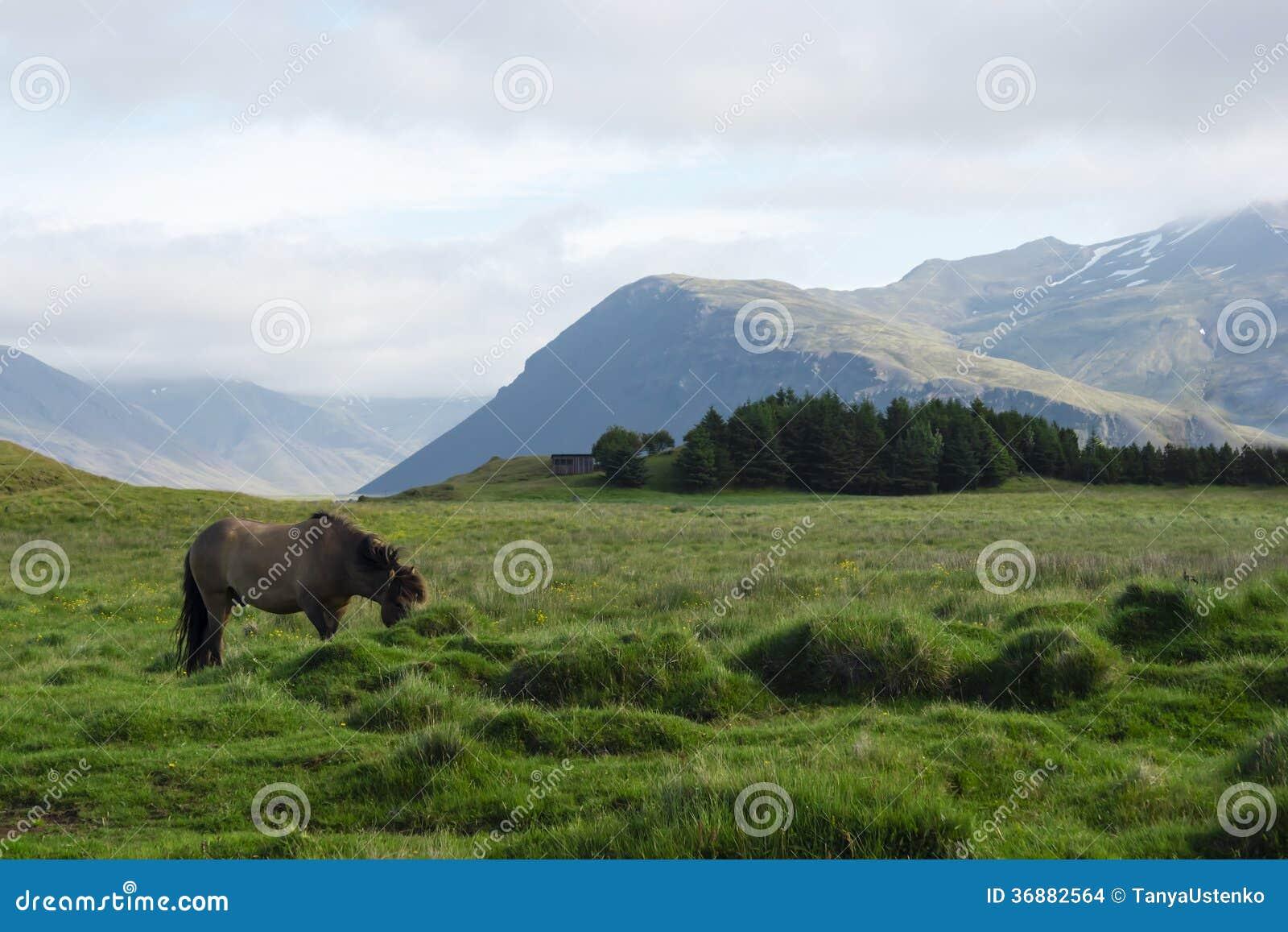 Download Cavallo Nei Campi Dell'Islanda, Estate Fotografia Stock - Immagine di ecologia, islanda: 36882564