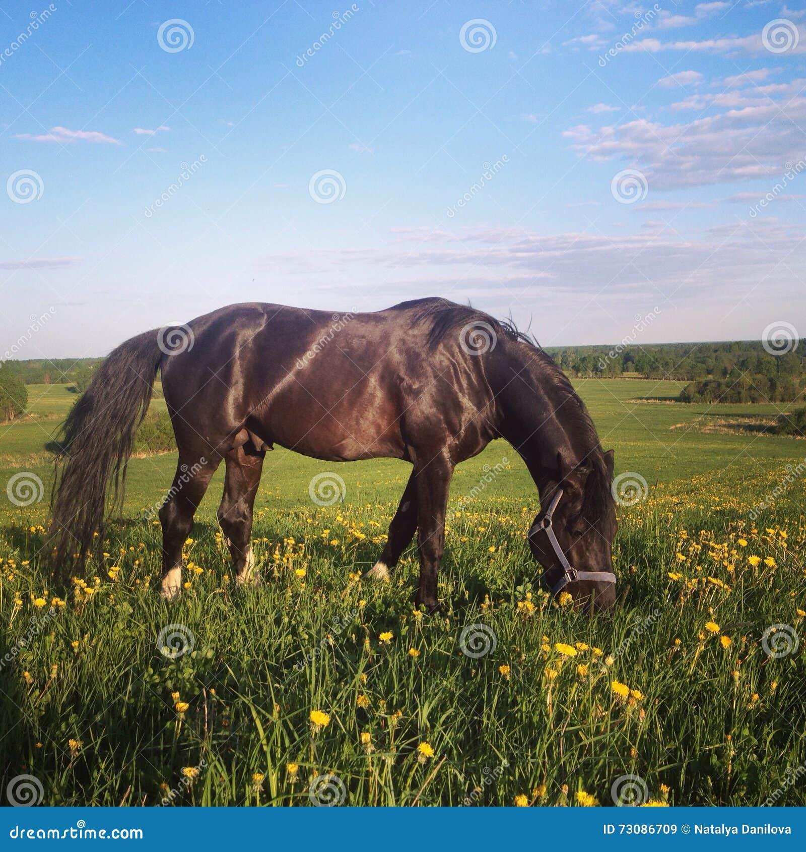 Cavallo nero su un campo