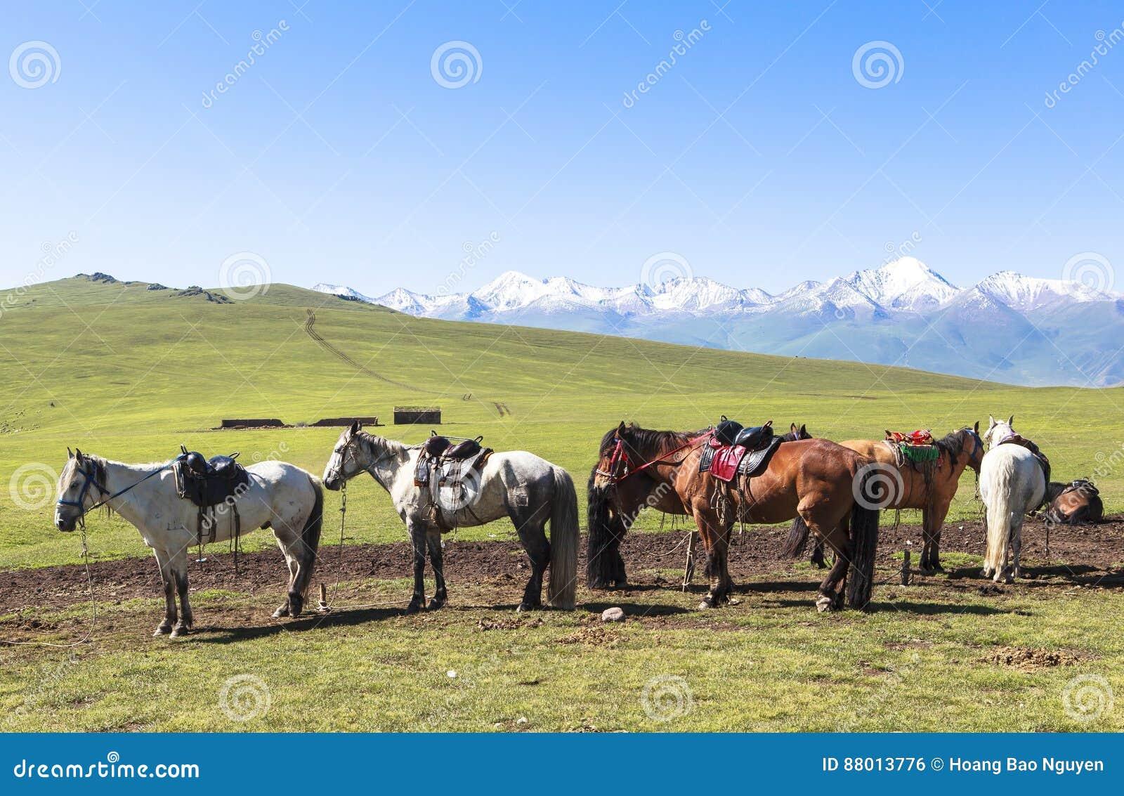 Cavallo in prato dello Xinjiang, Cina