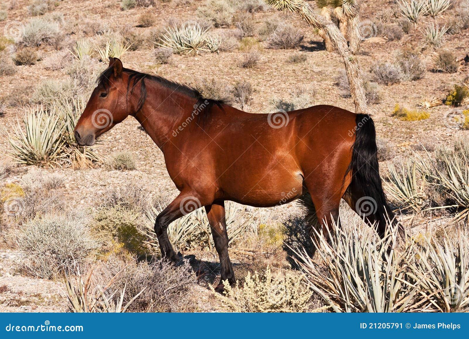 Cavallo selvaggio nel deserto di Mojave