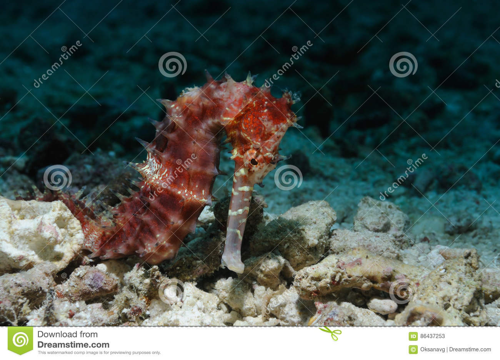 Cavalluccio marino solo immagine stock immagine di raro for Foto cavalluccio marino