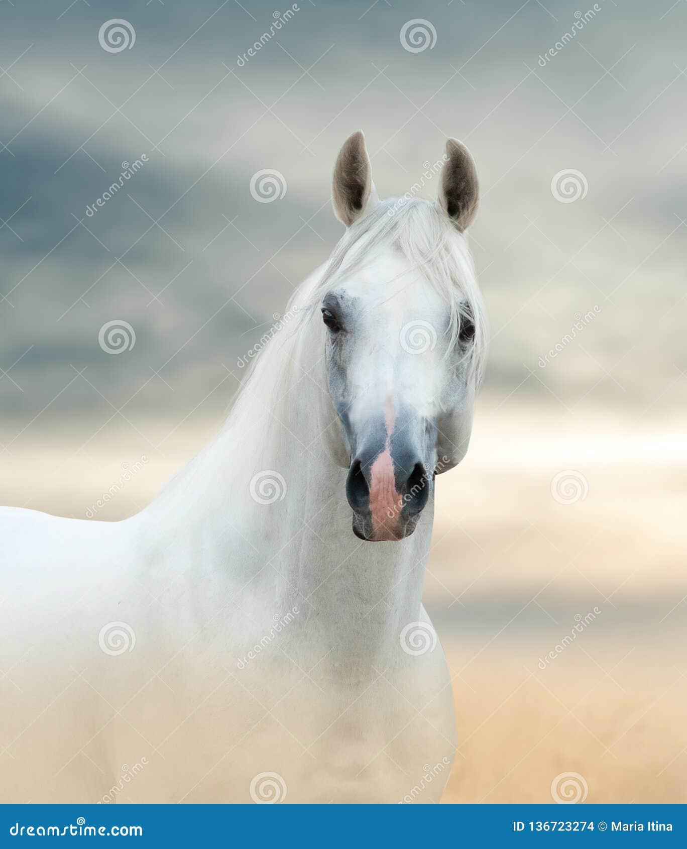 Cavalo árabe branco