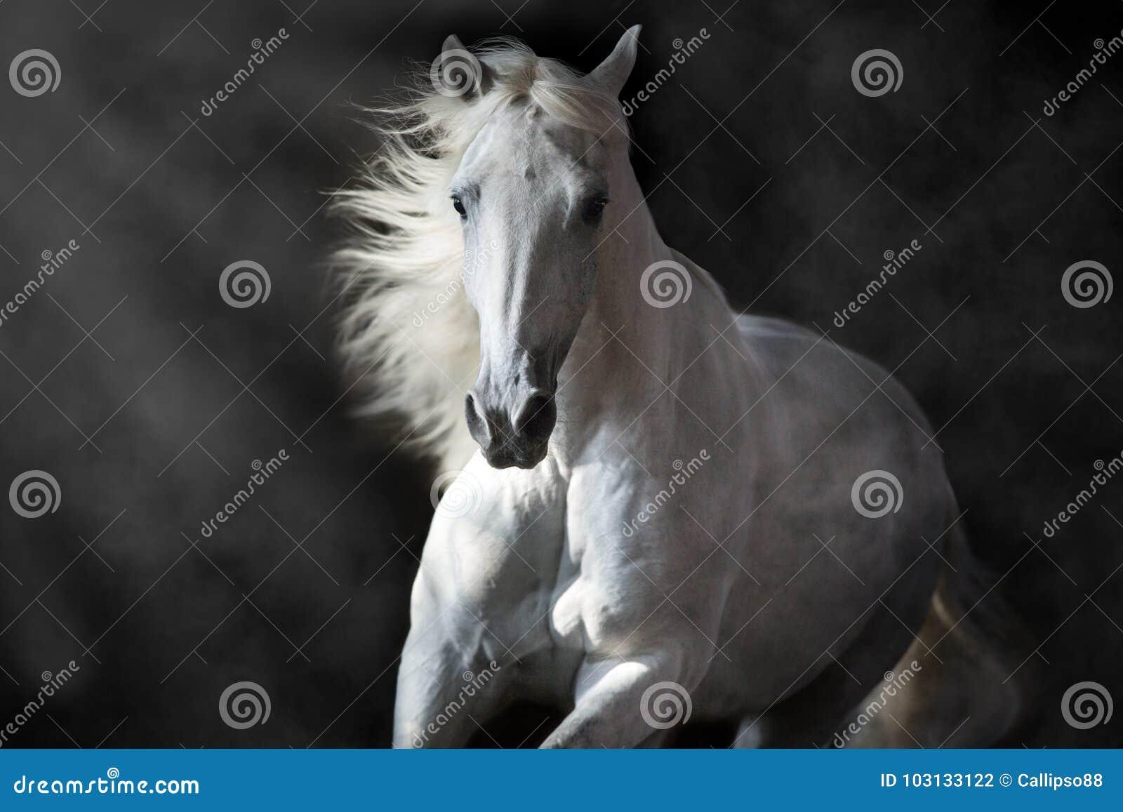 Cavalo andaluz branco no movimento