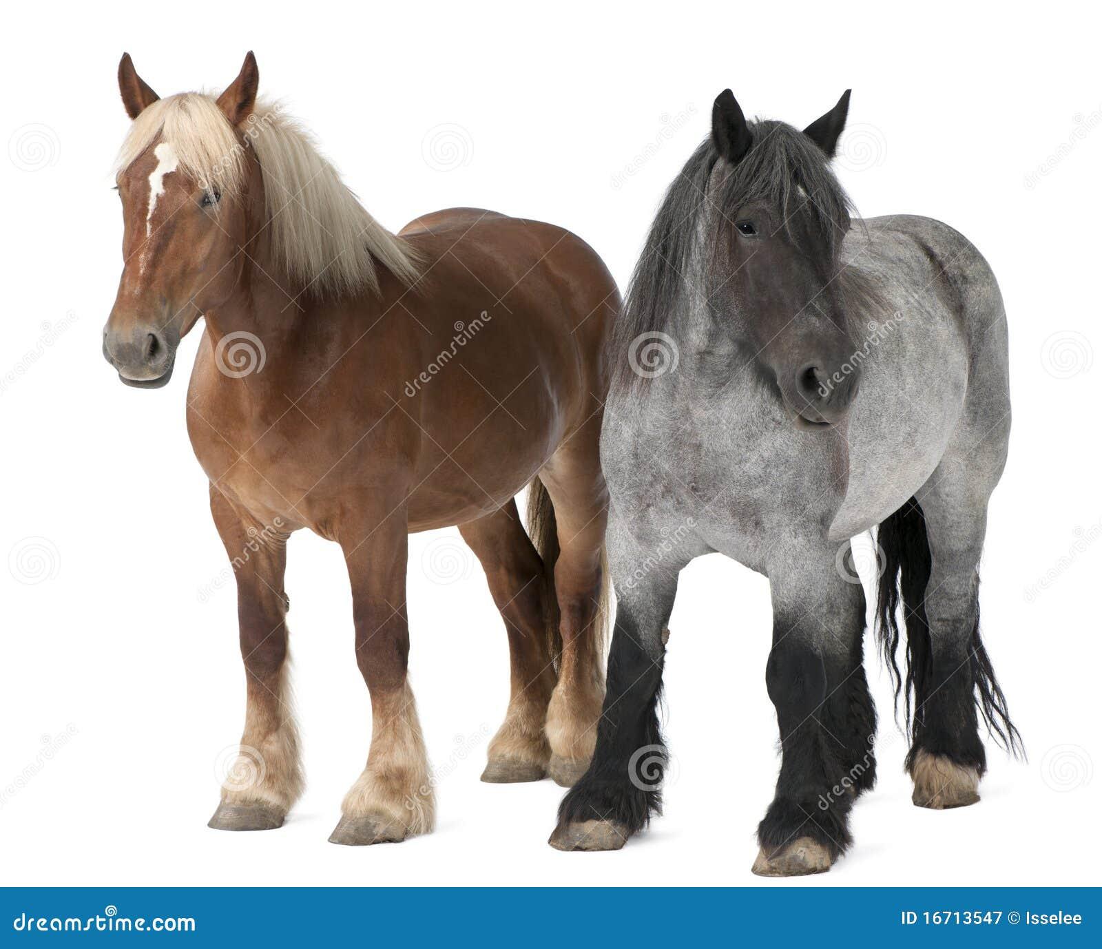 Cavalo belga, cavalo pesado belga, Brabancon