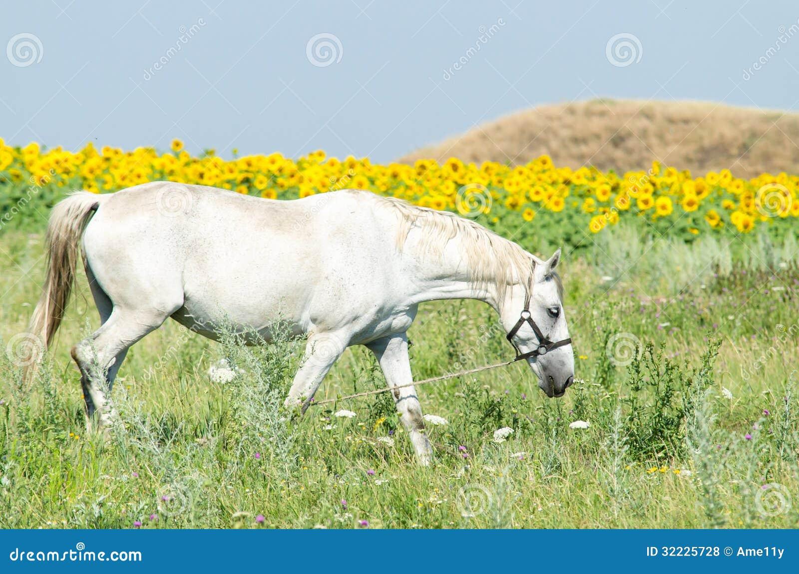 Download Cavalo branco no campo foto de stock. Imagem de sunflower - 32225728