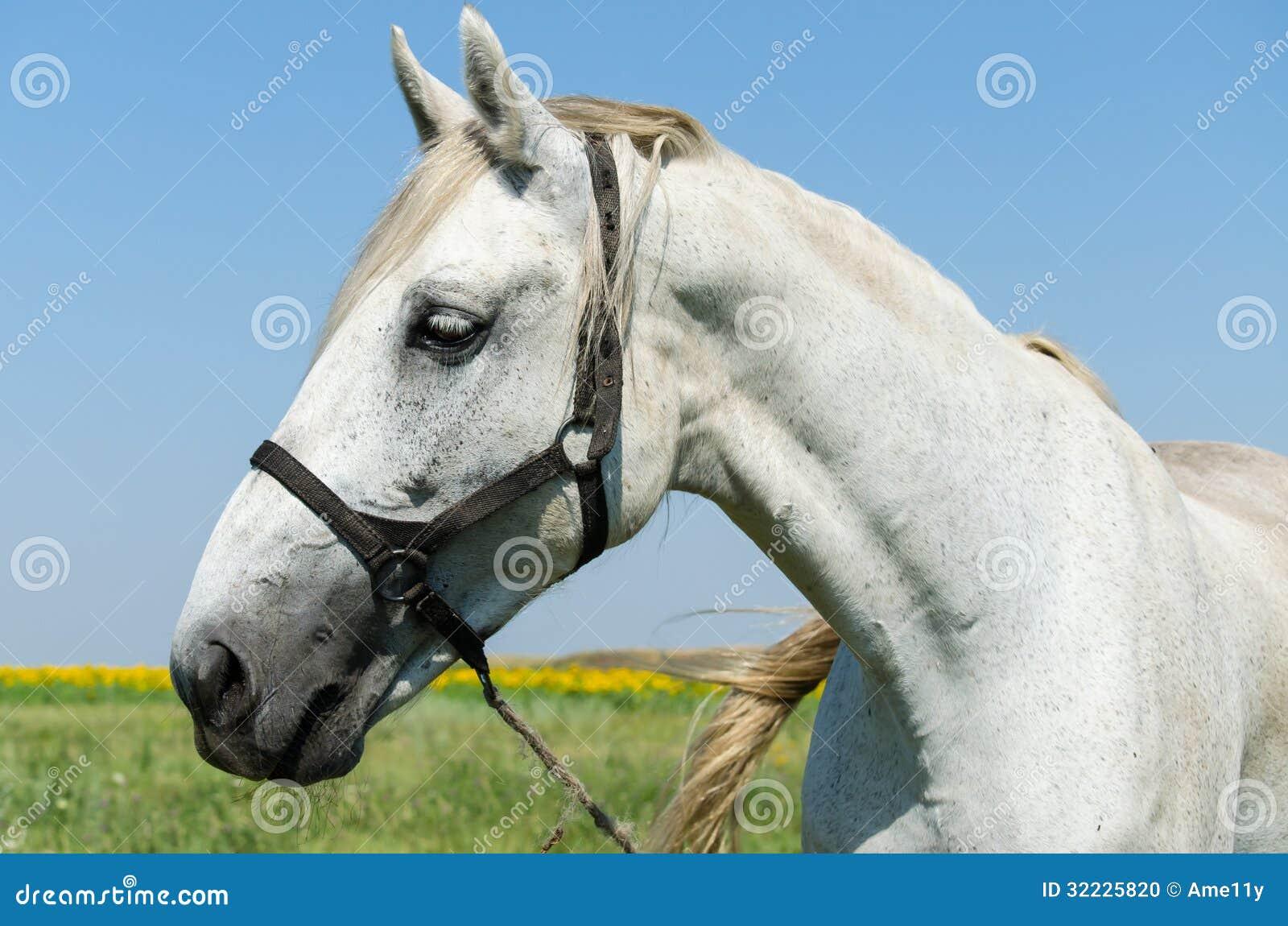 Download Cavalo branco no campo foto de stock. Imagem de verão - 32225820