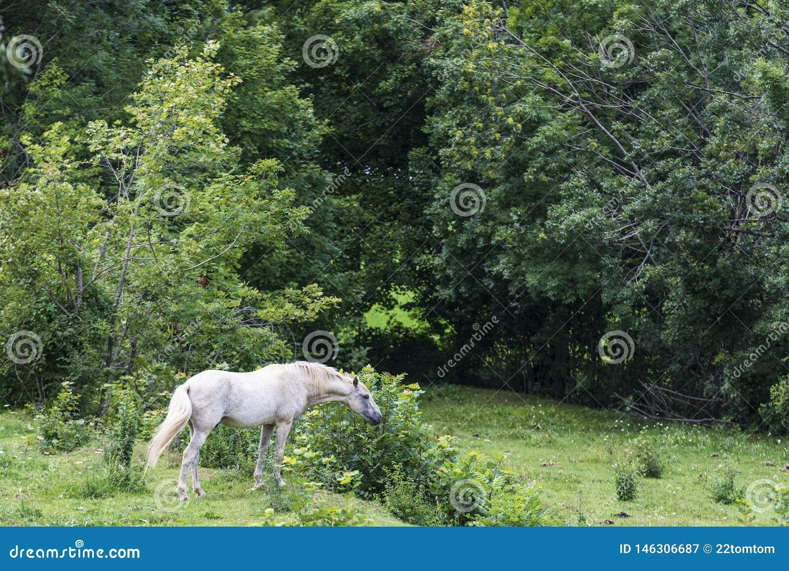 Cavalo branco que come a grama em um prado