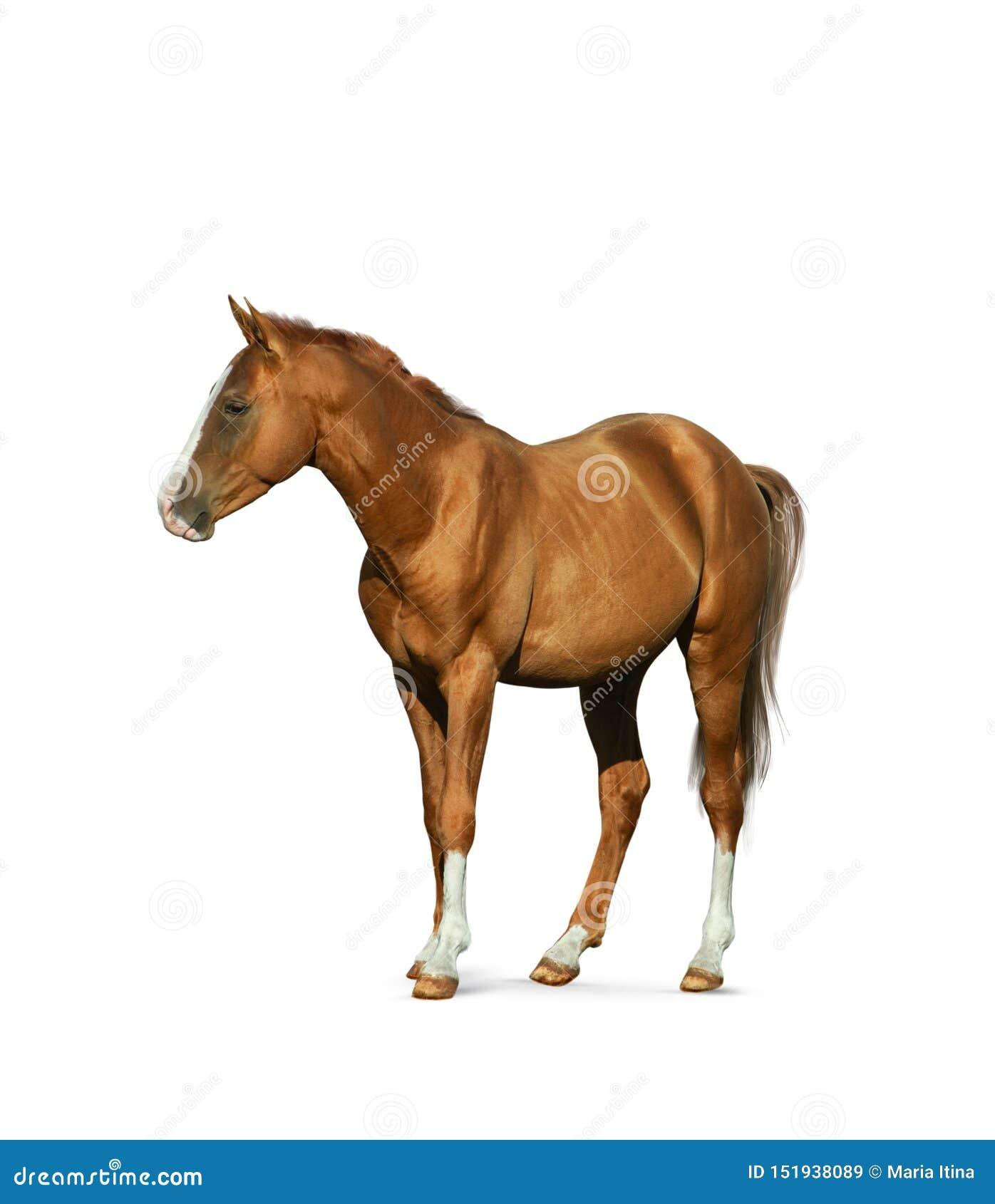 Cavalo da castanha isolado