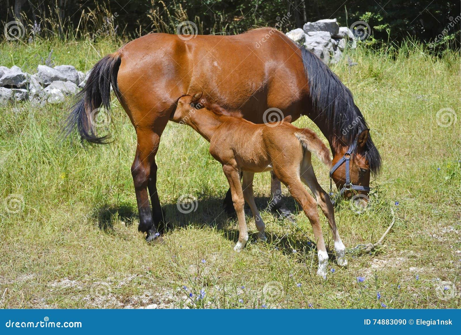 Cavalo de Brown com seu potro comer