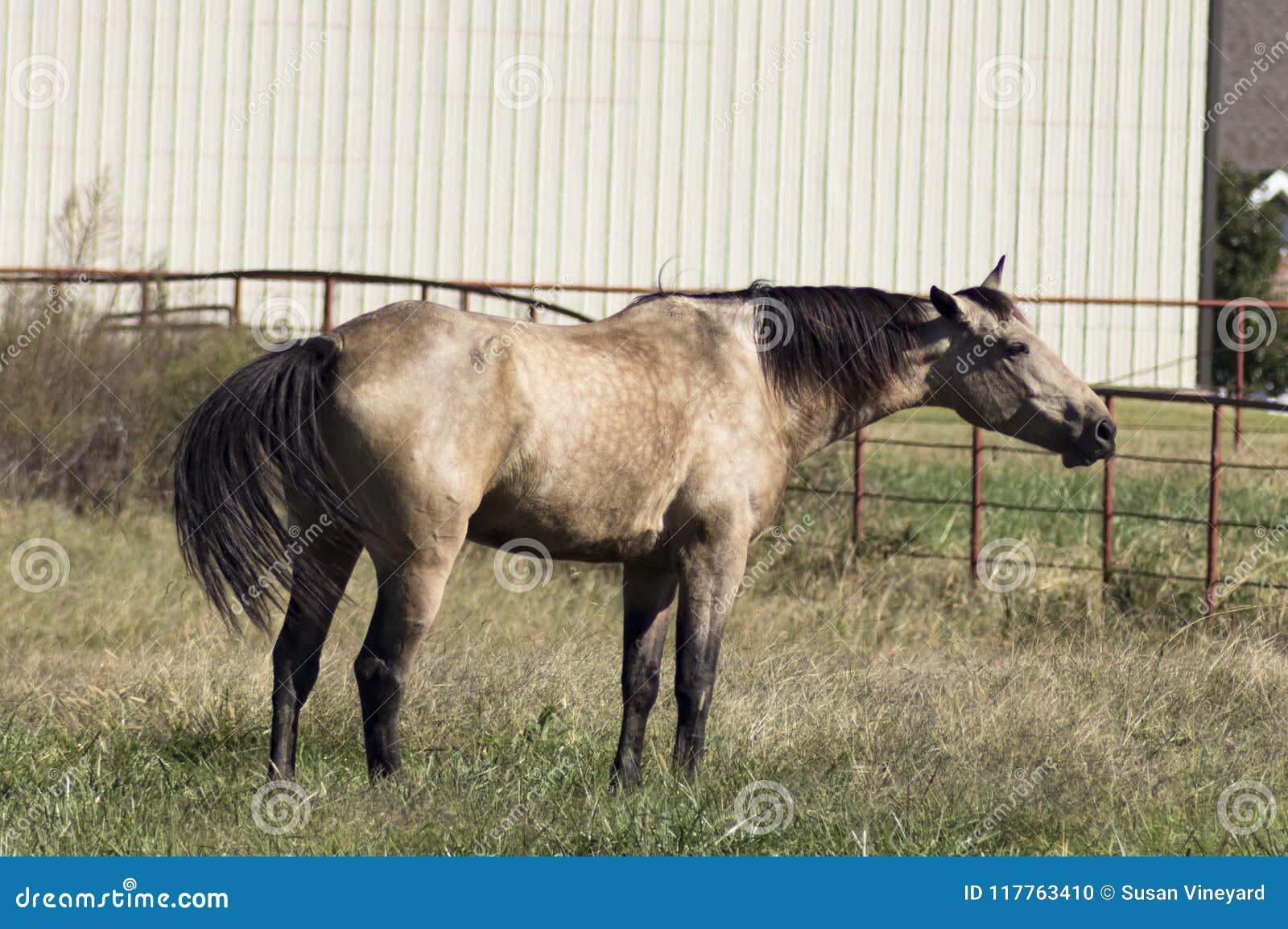 Cavalo do Dun que está no pasto que esticam para fora o celeiro moderno do pescoço e da cauda de ondulação e na cerca do metal no