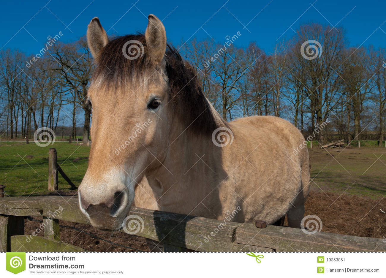 Cavalo do Fjord