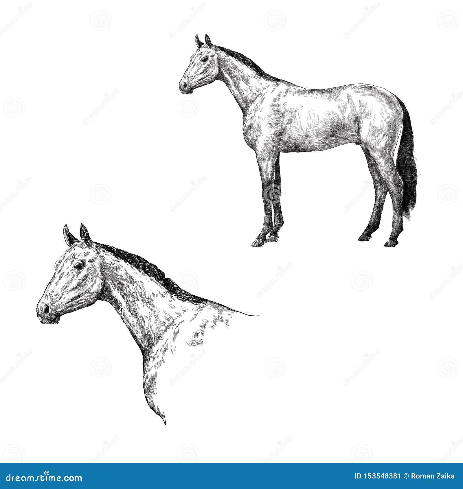 Cavalo elegante bonito isolado no branco