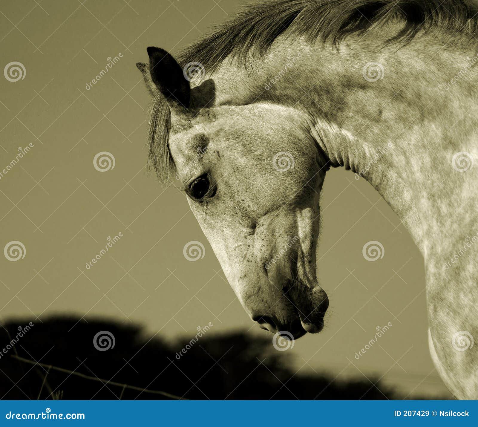 Cavalo irlandês