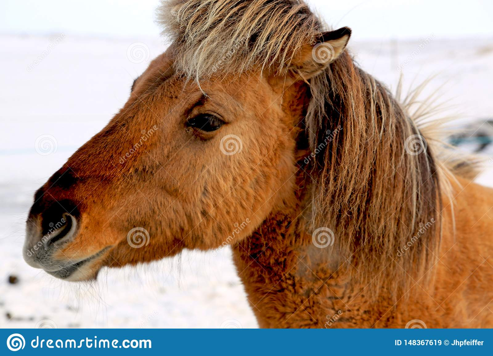 Cavalo islandês de Brown no inverno