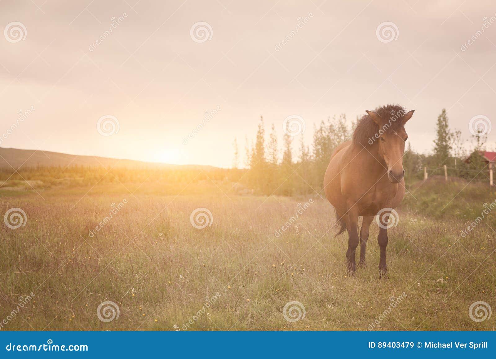 Cavalo islandês em um campo