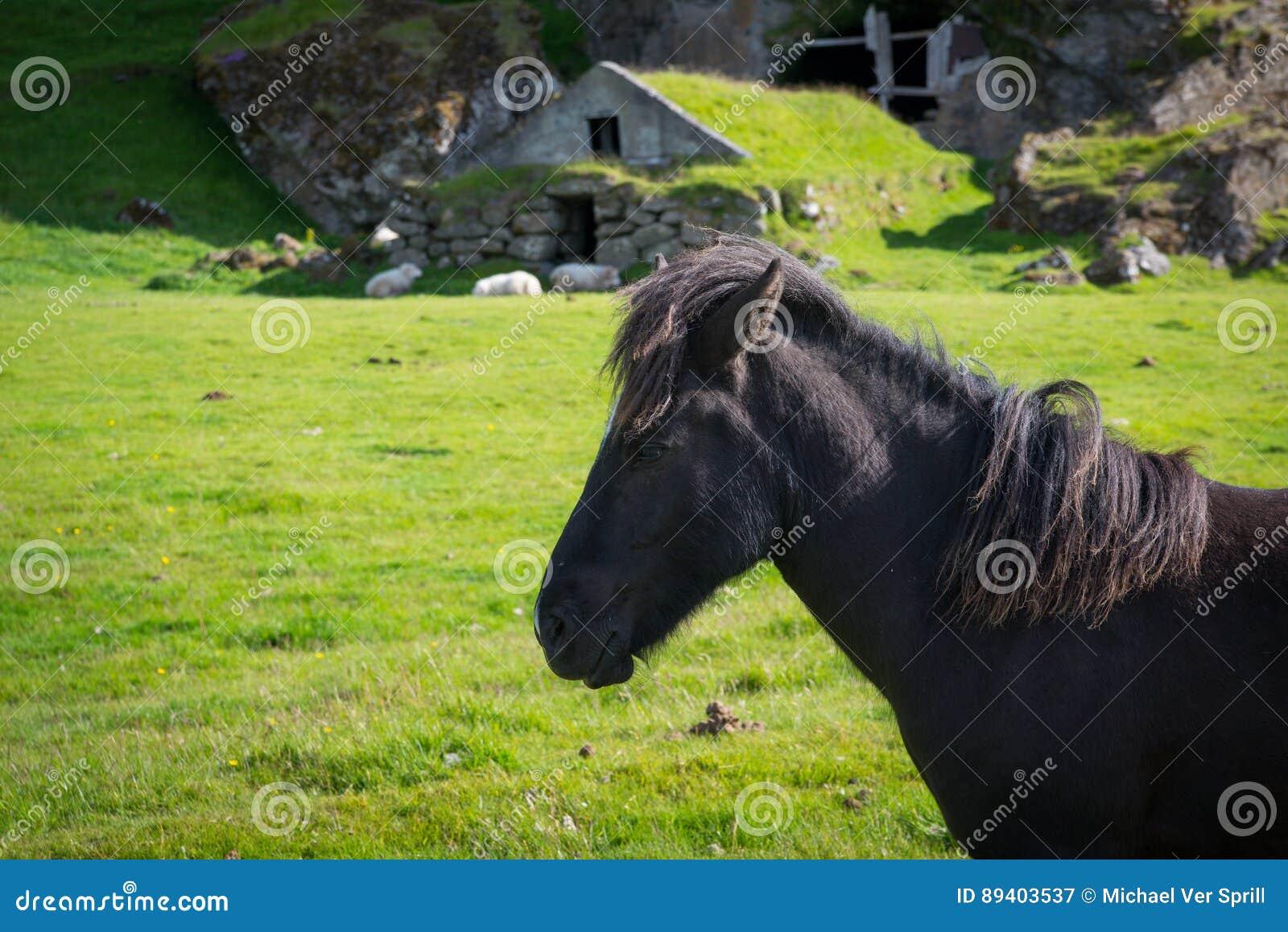 Cavalo islandês na frente de uma moradia de caverna histórica