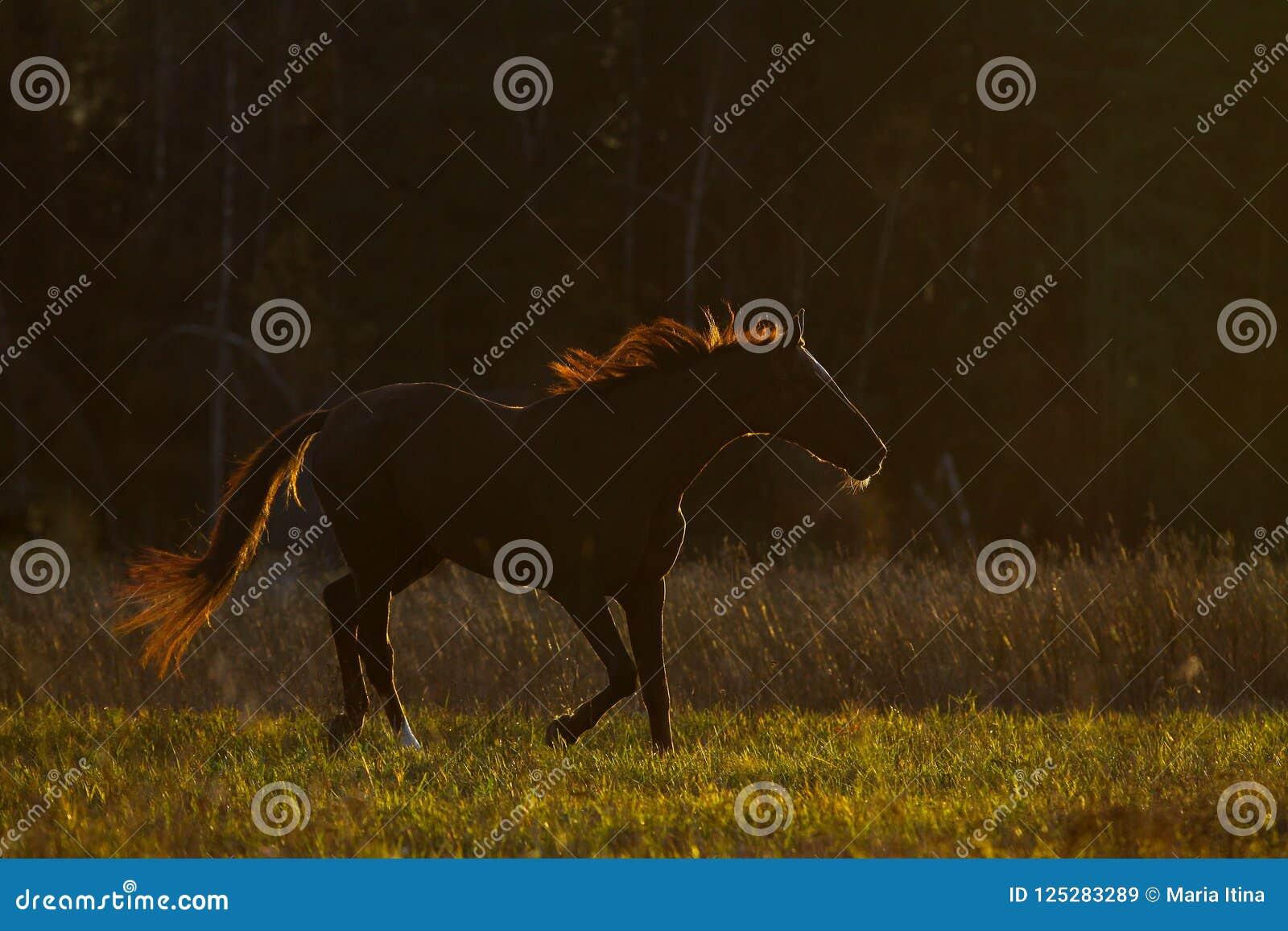 Cavalo na luz do contorno no por do sol