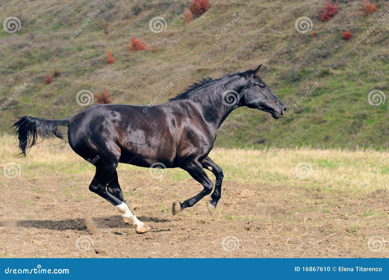 Cavalo preto que galopa no campo