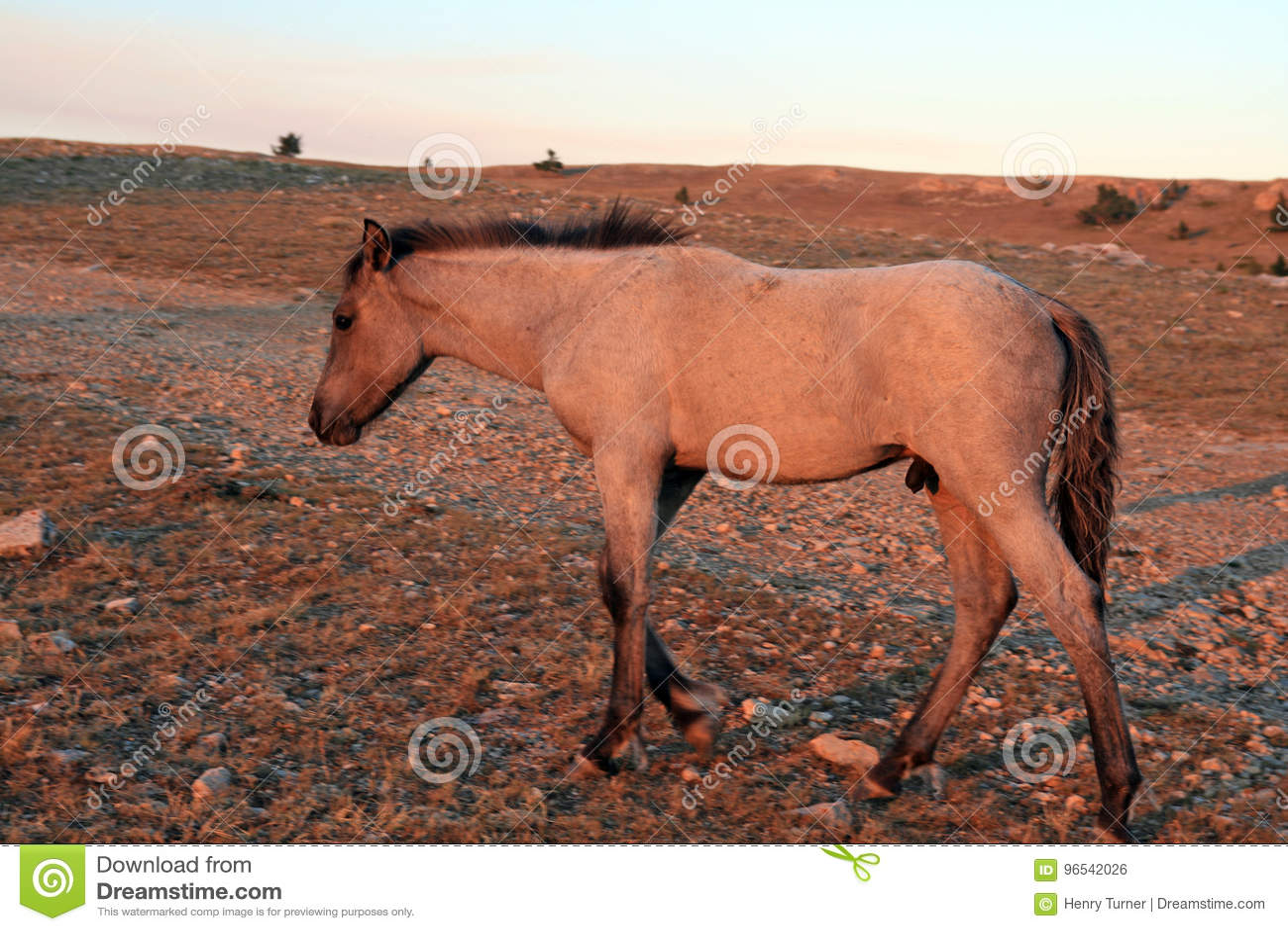 Cavalo selvagem no por do sol - Roan Colt azul em Tillett Ridge nas montanhas de Pryor de Montana EUA