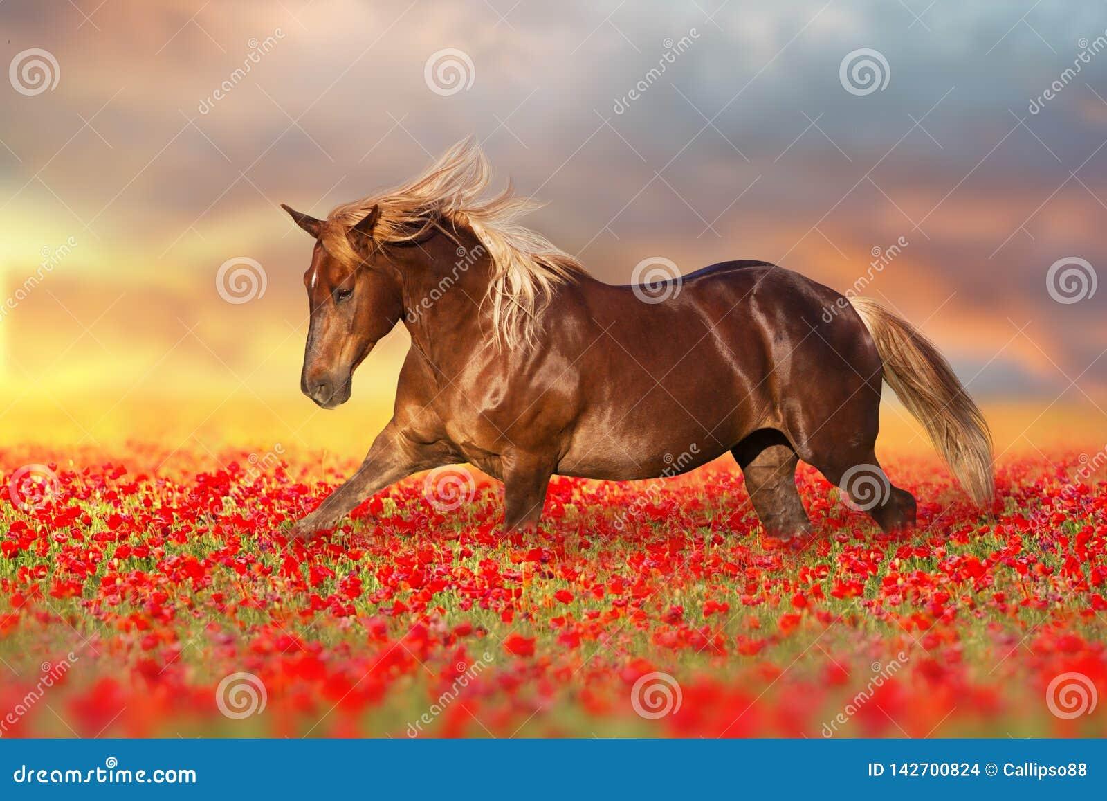Cavalo vermelho em flores da papoila