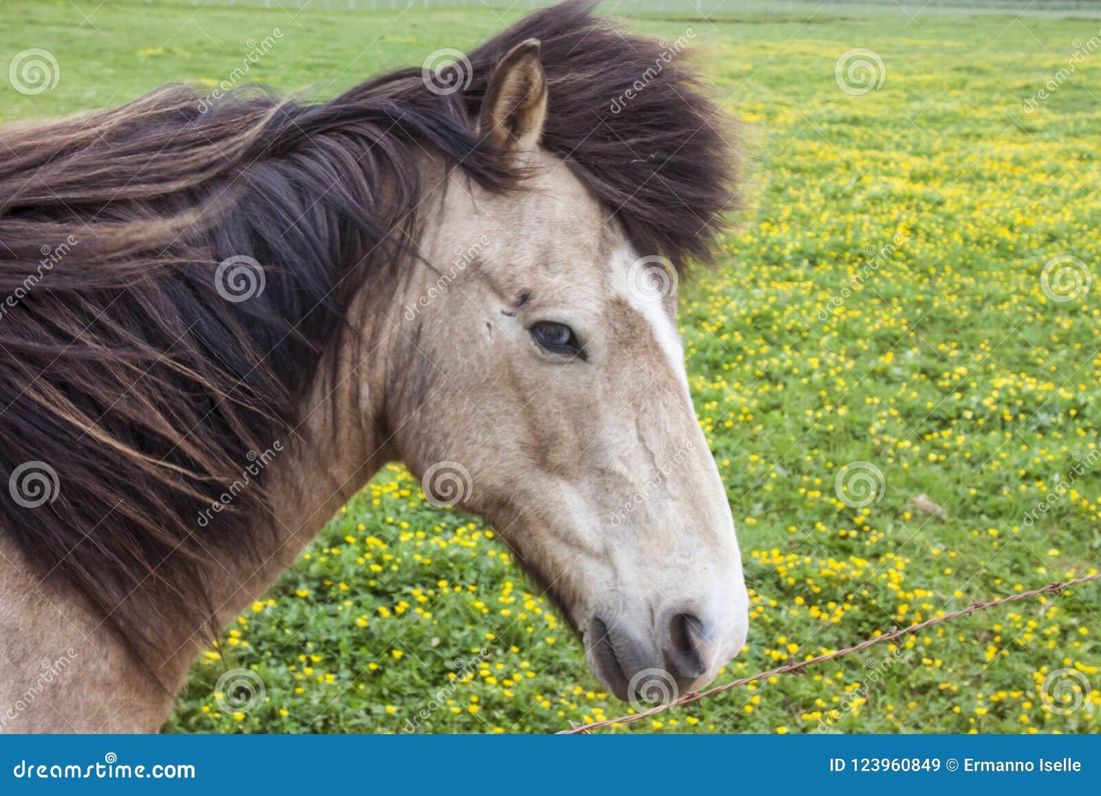 Cavalos ao longo dos campos de Islândia