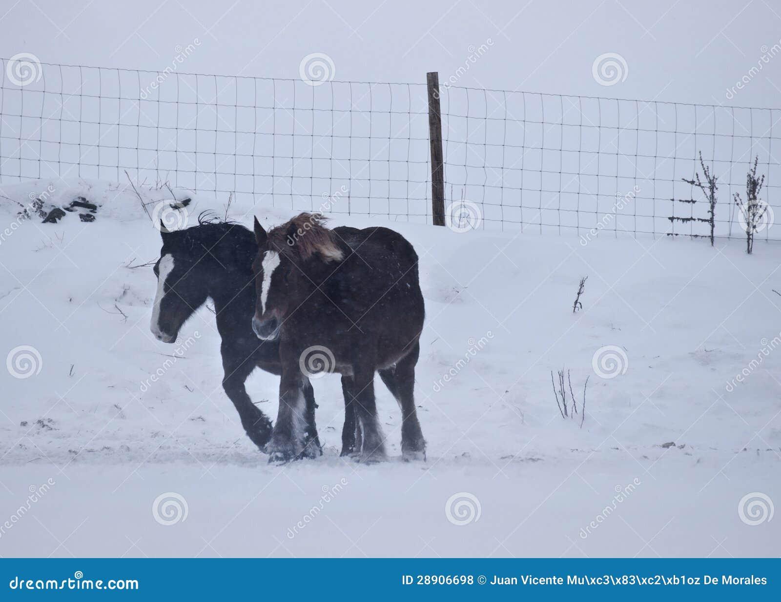 Cavalos contra o vento