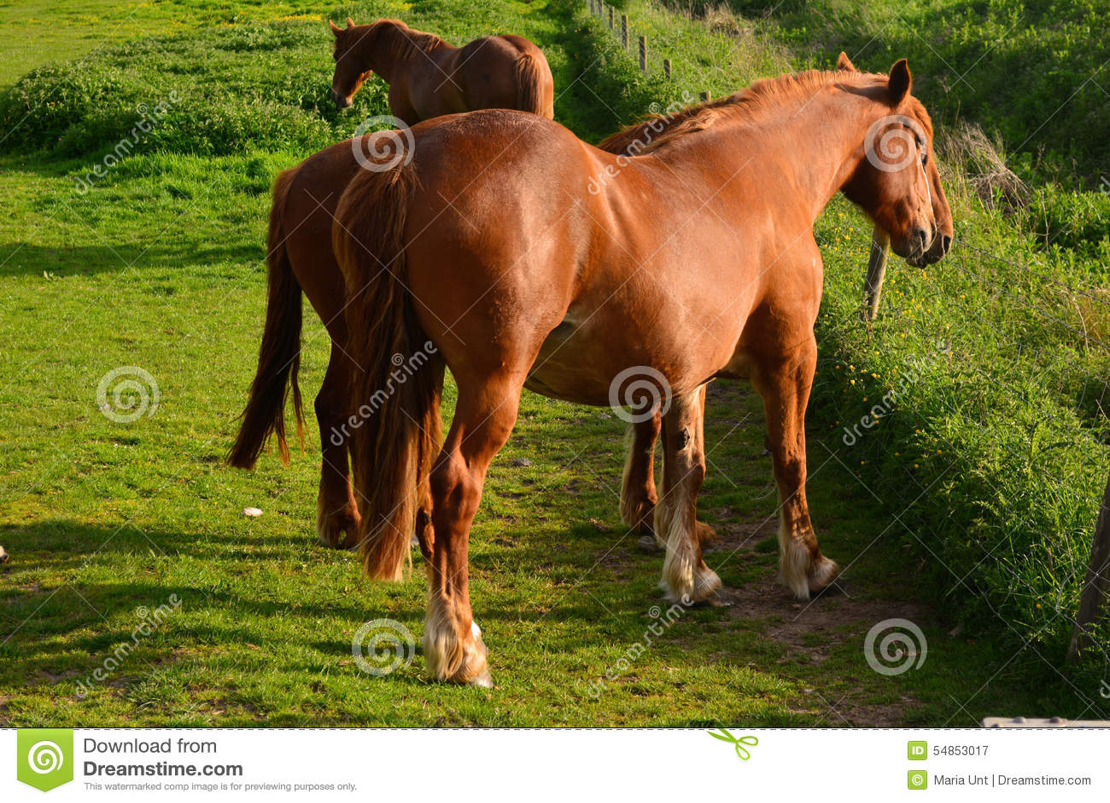 Cavalos de Brown que pastam em um campo, Norfolk, Baconsthorpe, Reino Unido