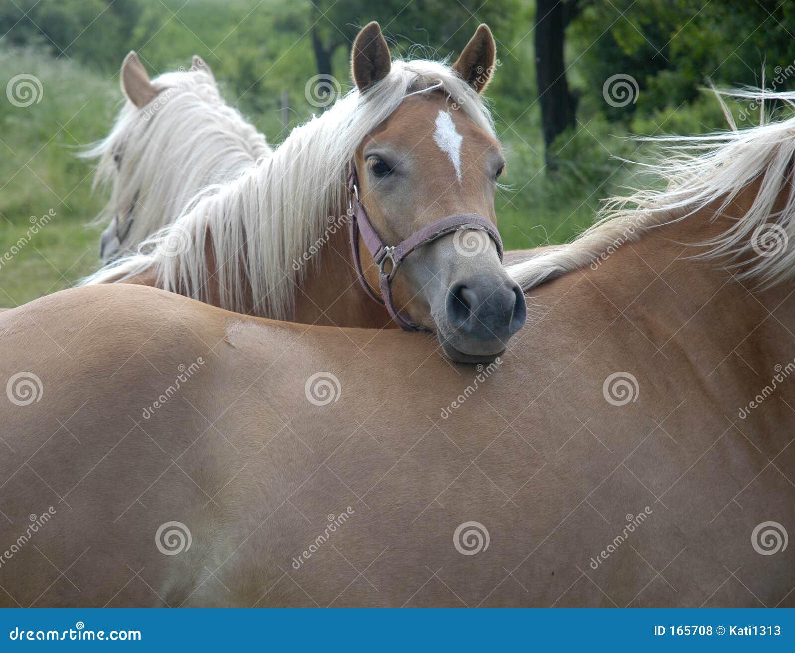 Cavalos de Haflinger III