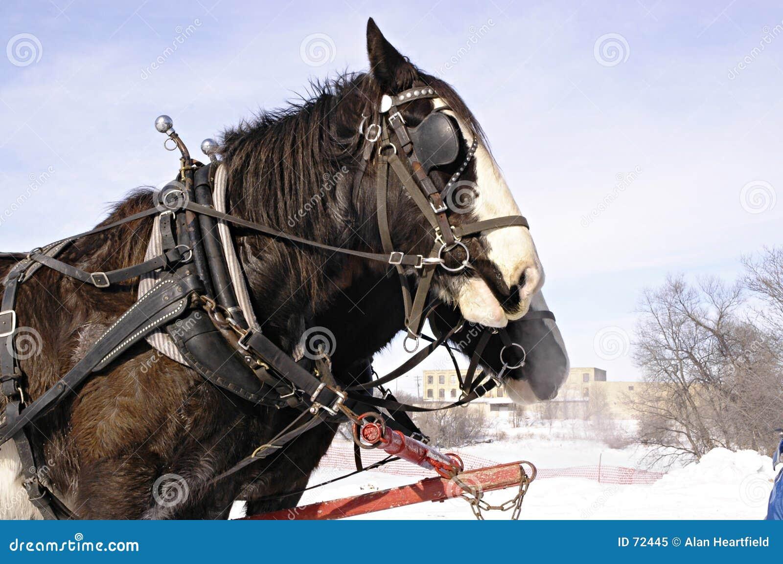 Cavalos do trenó