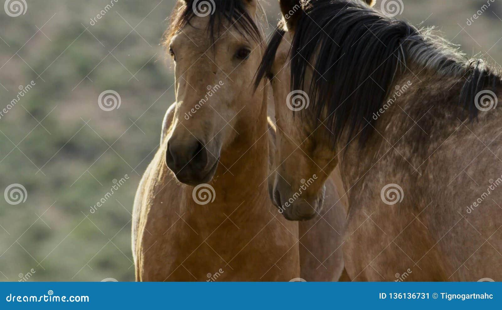 Cavalos selvagens de Nevada, rebanho de cavalos selvagens do mustang nas montanhas altas do deserto de Nevada