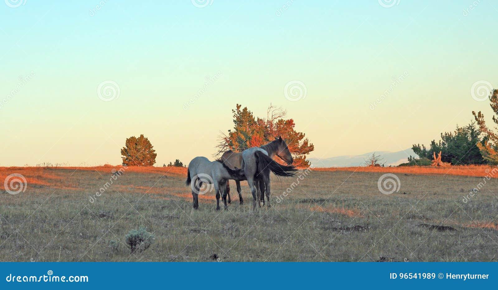 Cavalos selvagens no por do sol - Roan Colt azul que nutre sua mãe roan azul da égua em Tillett Ridge nas montanhas de Pryor de W