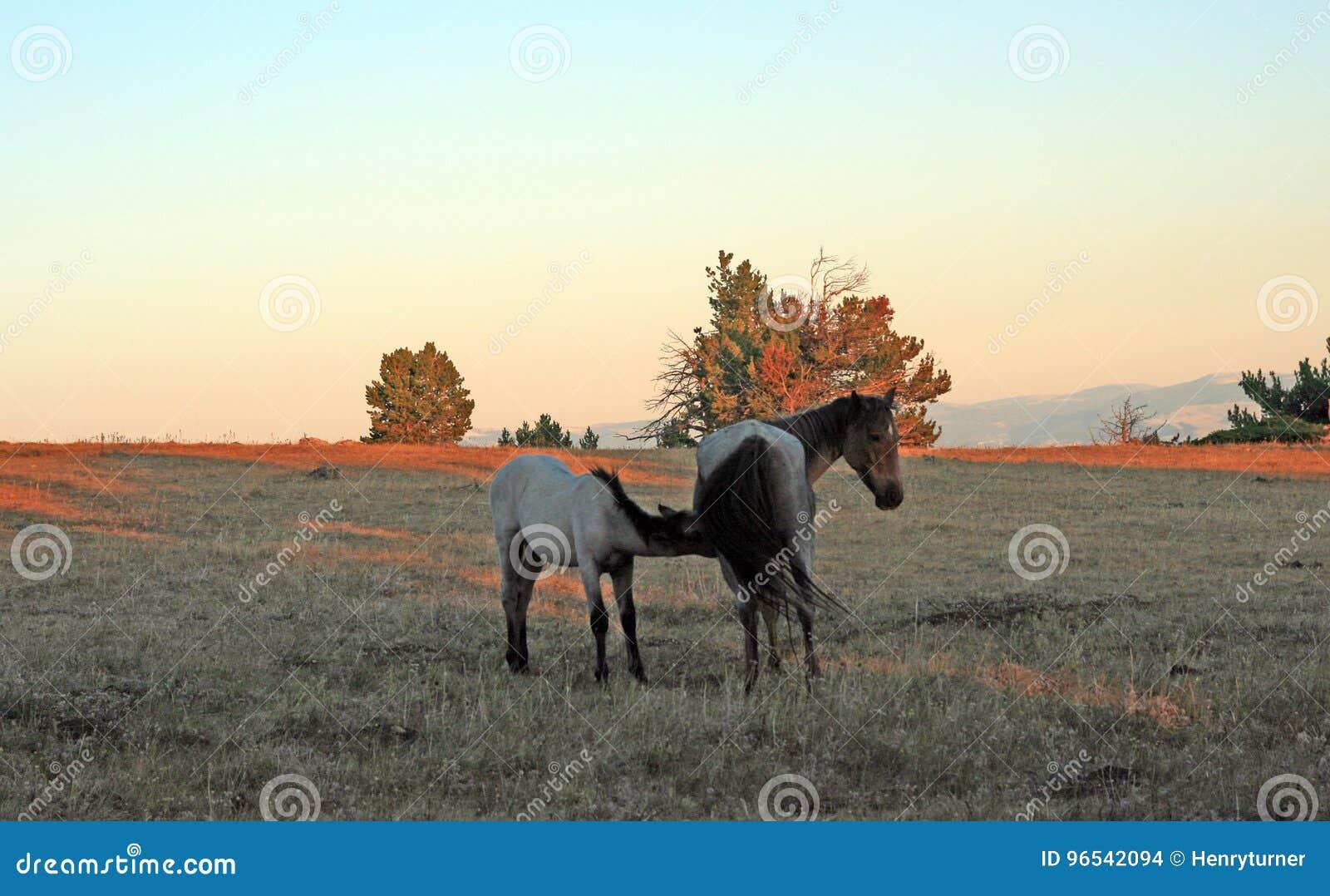 Cavalos selvagens no por do sol - Roan Colt azul que nutre sua mãe roan azul da égua em Tillett Ridge nas montanhas de Pryor de M