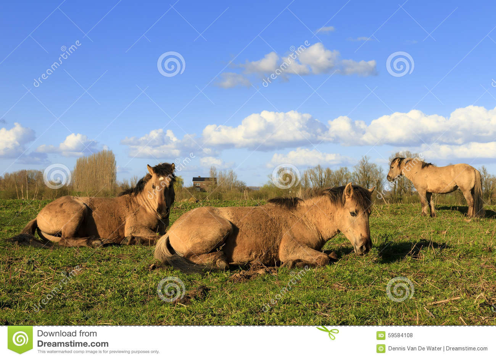 Cavalos Wageningen de Konik
