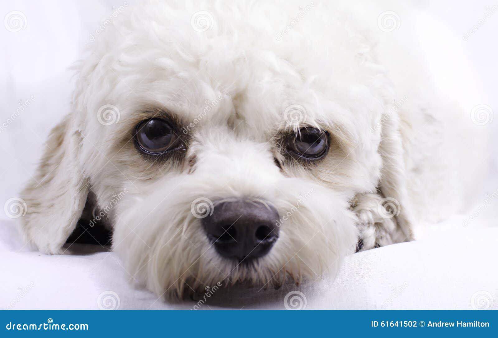 Cavapoo Toy Dog