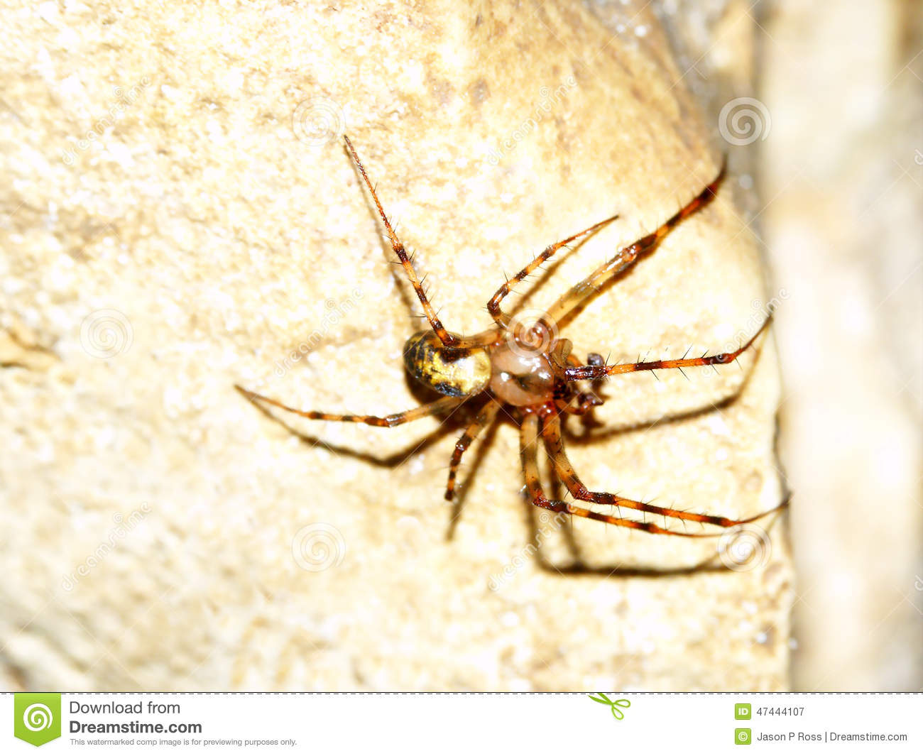 Cave Orb Weaver (Meta Ovalis) Stock Photo - Image: 47444107