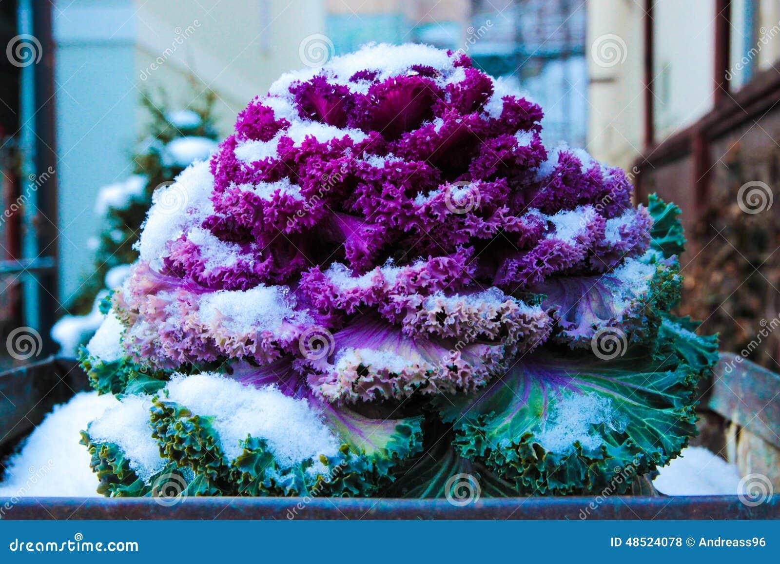 Cavolo ornamentale fotografia stock immagine 48524078 for Cavolo ornamentale